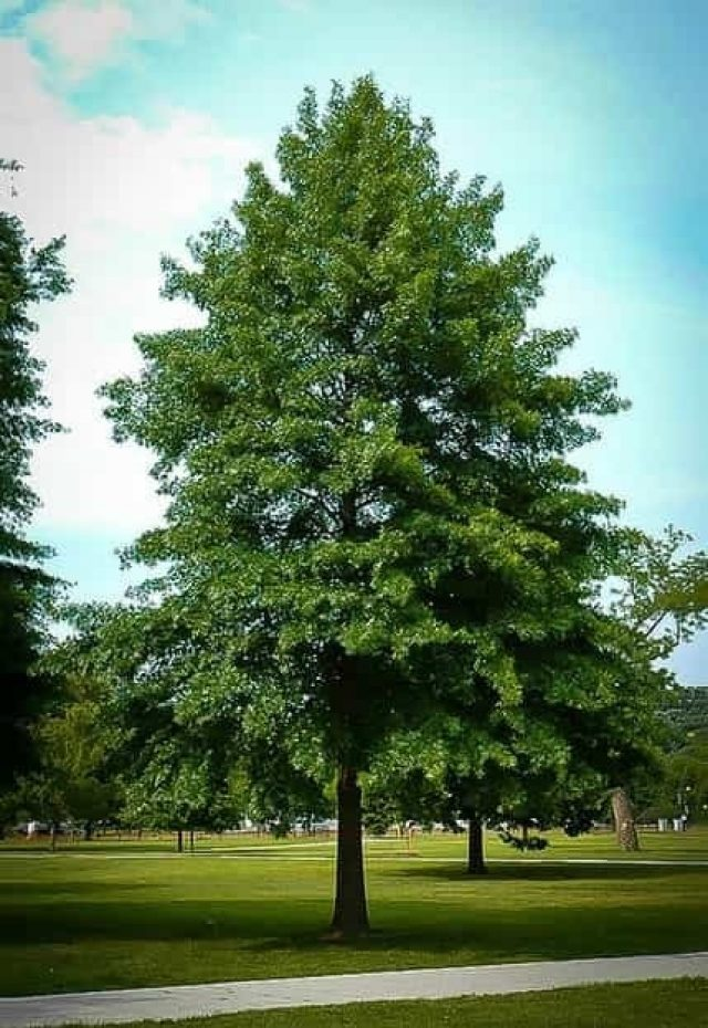 Know How Oak Trees Create Wonders In Your Life, Benefits and Importance